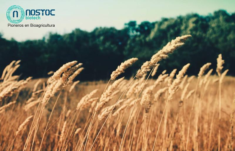 NOSTOC-BIOTECH-imagen-campo-trigo